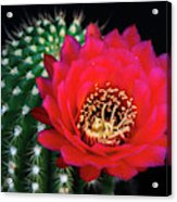 Red Hot Torch Cactus  Acrylic Print