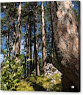 Red Pine Itasca Acrylic Print