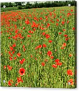 Red Poppies Meadow Acrylic Print