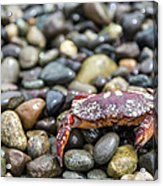 Red Rock Crab On A Pebble Covered Beach Acrylic Print