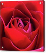 Red Rose 3 Acrylic Print