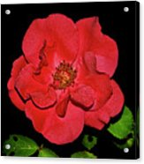 Red Rose With Dewdrops 038 Acrylic Print