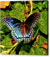 Red-spotted Purple Butterfly 017 Acrylic Print