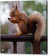 Red Squirrel Getting Ready For Winter Acrylic Print