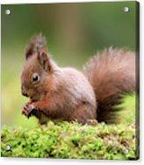 Red Squirrel Sciurus Vulgaris Acrylic Print