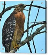 Red Shouldered Hawk Panorama Acrylic Print