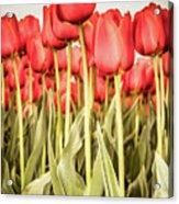 Red Tulip Field In Portrait Format. Acrylic Print