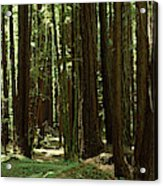 Redwood Trees Armstrong Redwoods St Acrylic Print