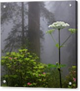 Redwoods By Crescent City 1 Acrylic Print