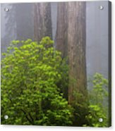 Redwoods By Crescent City 7 Acrylic Print