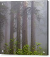 Redwoods By Crescent City 8 Acrylic Print