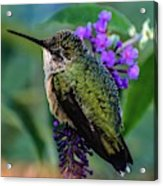 Rescued Ruby-throated Hummingbird Acrylic Print