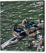 Resting Ducks Acrylic Print