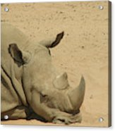 Resting Rhinoceros With His Head Down In A Sandy Area Acrylic Print
