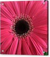 Rhapsody In Pink - Gerbera Daisy Acrylic Print