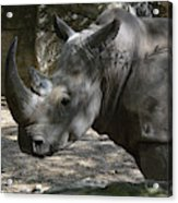 Rhino Standing In The Shade On A Summer Day Acrylic Print