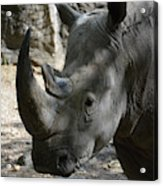 Rhinoceros With Two Horns Up Close And Personal Acrylic Print
