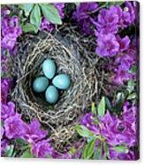 Robins Nest In Azalea Bush, Spring Acrylic Print