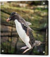Rockhopper Penguin Jumping Acrylic Print