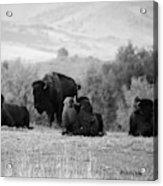 Rocky Mountain Bison Acrylic Print