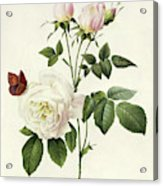 Rosa Bengale The Hymenes By Redoute Acrylic Print