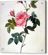 Rosa Inermis Acrylic Print