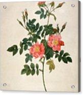 Rosa Rubiginosa Acrylic Print