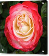Rose And Rain - The Ice-cream Rose Acrylic Print