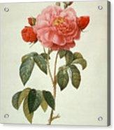 Rose La Duchesse Dorleans Acrylic Print
