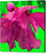 Rose Of Sharon Rain Drops Acrylic Print