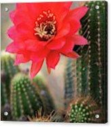 Rose Quartz Cactus Flower  Acrylic Print