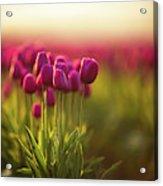 Rows Of Magenta Painterly Tulips Acrylic Print