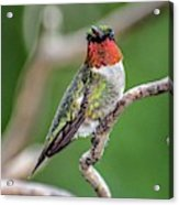Ruby-throated Hummingbird In All His Glory Acrylic Print