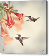 Ruby Throated Hummingbirds Hover Over Acrylic Print