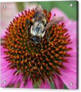 Rudbeckia Coneflower With Bee, Canada Acrylic Print