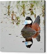 Ruddy Duck, Plumas County California Acrylic Print