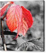 Rusty Leaves Acrylic Print
