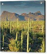 Saguaro Cactus In Sonoran Desert And Acrylic Print