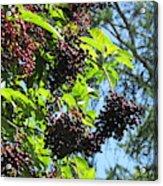 Sambucus Elderberry Sureau Acrylic Print