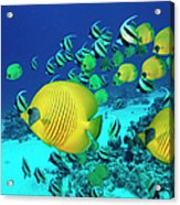 School Of Butterfly Fish Swimming On Acrylic Print
