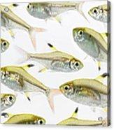 School Of X-ray Tetra Fish Pristella Acrylic Print