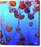 Sea Nettle Jellies Acrylic Print