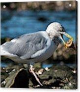 Seagull Carrying Snail Acrylic Print