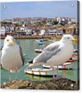 Seagulls In St Ives Harbour Cornwall Acrylic Print