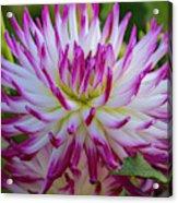 Semicactus Dahlia Acrylic Print
