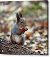 Shadow Boxing. Red Squirrel Acrylic Print