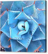 Sharp Pointed Agave Plant Leaves Acrylic Print