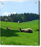 Sheep And Lambs In A Field Acrylic Print