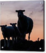Sheep Family Acrylic Print