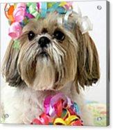Shih Tzu Dog Acrylic Print
